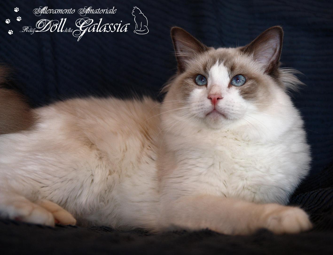 Dollgalassia-Felis-3