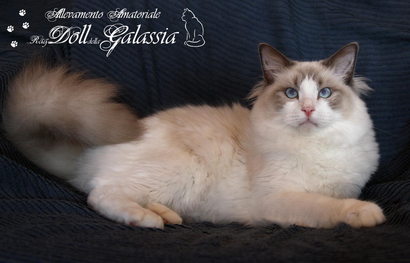 Dollgalassia-Felis-1