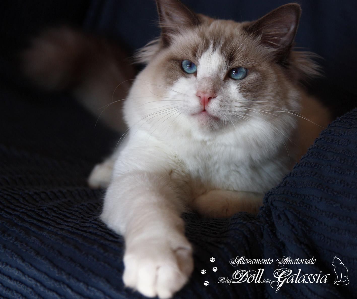 Dollgalassia-Felis-4